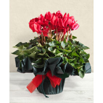 Red Cyclamen plant